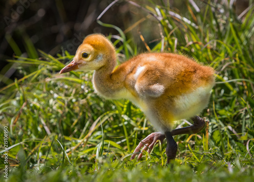 Fotografie, Obraz  Sandhill crane few day old chick walks.CR2