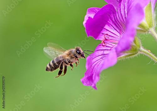 Fotobehang Bee Bee flying to a purple geranium flower blossom