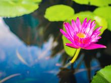 Beautiful Lotus With Green Lea...