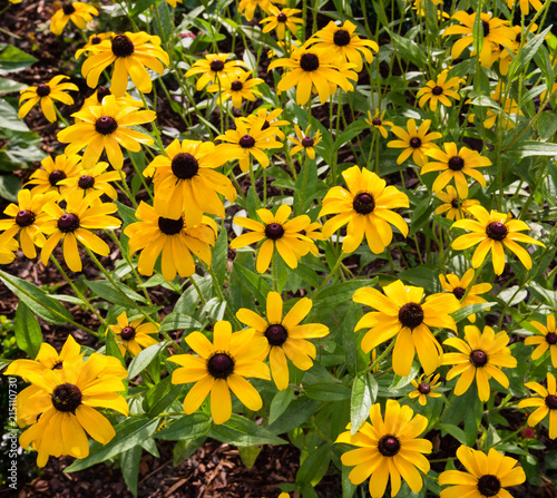 Fotografia, Obraz  Black eyed susan flowers in the wild.CR2