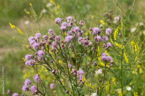 A flowering bush of pink sows (Cirsium arvense) in a natural environment, among wildflowers Canvas Print