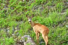 Roe Deer Walking On The Rock Hill