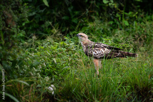 Deurstickers Vogel Changeable Hawk-eagle - Spizaetus cirrhatus, beautiful large bird of prey from Sri Lankan woodlands.