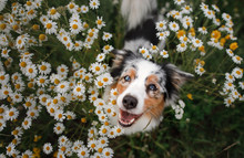 A Happy Dog In Flowers. The Pe...