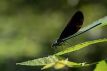 Blue Ebony Jewelwing Damselfly...
