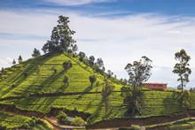 Sri Lanka, Nuwara Eliya, Sri L...