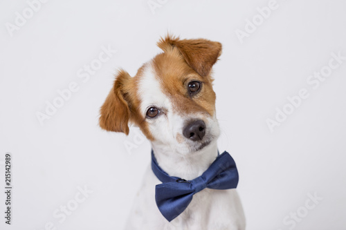 Fototapeta portrait of a cute young small white dog wearing a modern blue bowtie. White background. Pets indoors obraz na płótnie