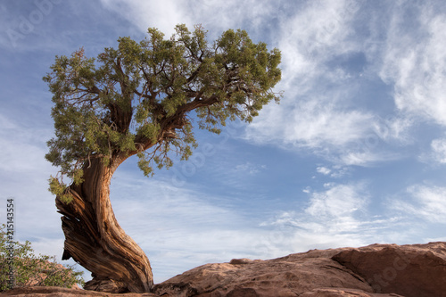 Valokuva  A curved windswept tree against a blue sky in Canyonlands National Park in Utah