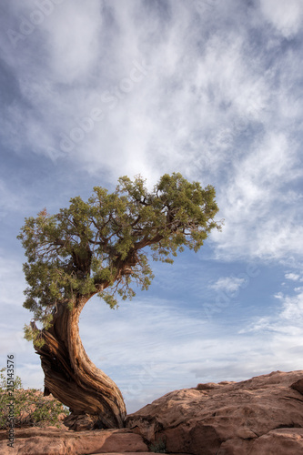 Valokuva  A windswept tree against a blue sky in Canyonlands National Park