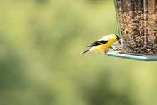 A Male Yellow Finch Perched On A Birdfeeder