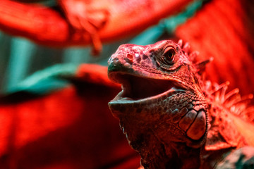 beautiful iguana lizard