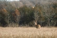 A Buck In The Iowa Prairie Grass