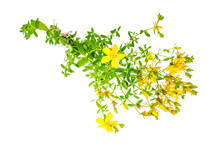 St. John's Wort (Hypericum Perforatum)on White Background