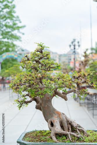 Foto op Plexiglas Bonsai bonsai tree in flower pot with oriental background