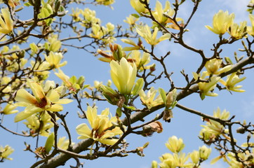 Obraz na Szkleyellow magnolia tree blossom