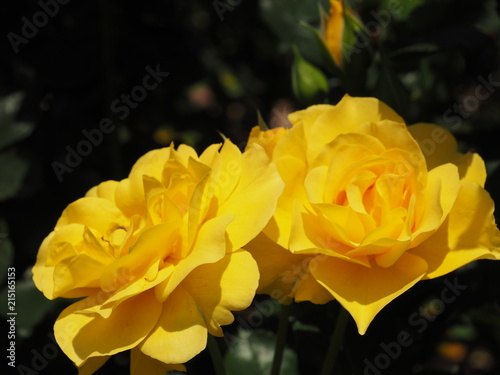 Garden Poster Narcissus Twin Yellow Roses
