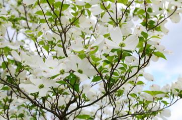 Fototapeta Drzewa dogwood tree blossom