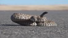 P01767 Prairie Rattlesnake On ...