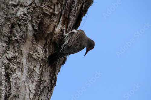 Foto op Plexiglas Alpinisme A Northern flicker woodpecker boring into the side of an old cut up tree looking for insects.