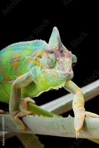 Foto op Plexiglas Kameleon Yemen Chameleon