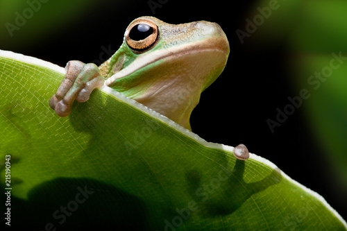 Tuinposter Kikker Tree frog shadow