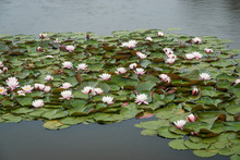 Water Lilies With Pink Flowers In The Rain On A Farmers Water Reservoir, Victoria Australia
