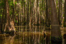 Lower Portion Of A Forest Of Cypress Trees Growing Out Of Lake Bistinaeu In Louisiana