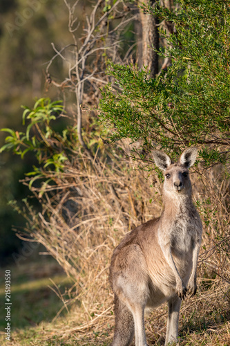 Foto op Plexiglas Kangoeroe A young kangaroo watching on in the Australian bush