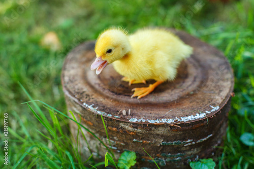 Photo  Small duck on a stump in a meadow with green juicy grass