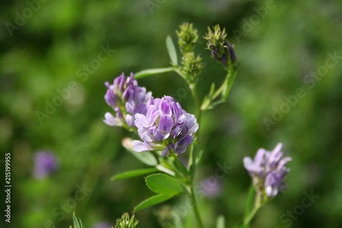 Beautiful purple alfalfa flower in the field Canvas Print