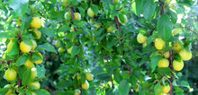 Yellow And Green Plums On A Br...