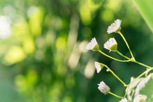 Daisies White Flowers