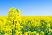 Rapeseed (Brassica Napus), Rape, Oilseed Rape Field.  Bright-yellow Flower Brassica Napus Close Up. Rapeseed Oil Is Used As Diesel Fuel, Biodiesel.
