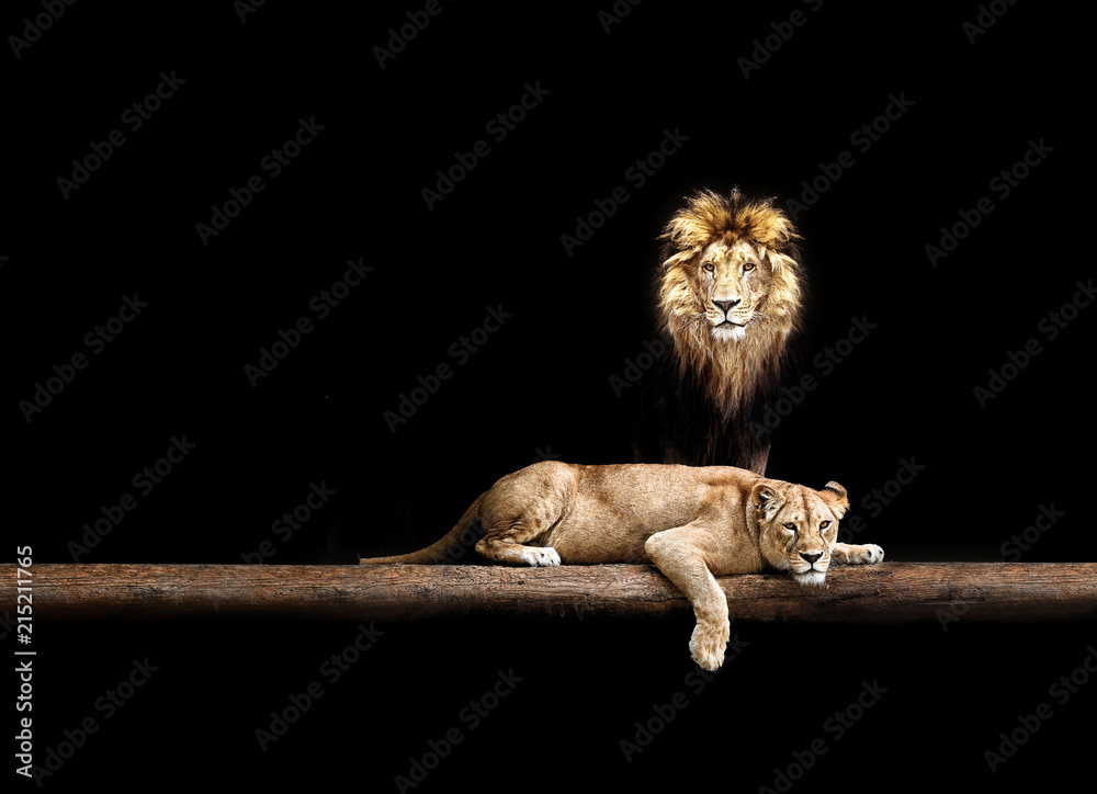 Fototapeta Lion and lioness, animal family. Portrait in the dark, after sex