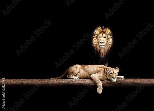 Foto op Plexiglas Leeuw Lion and lioness, animal family. Portrait in the dark, after sex