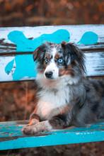 Mili The Miniature Australian Shepherd, Stunning Blue Eyes, On A Beanch, Golden Summer