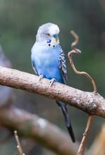 Parakeet In It's Natural Habitat