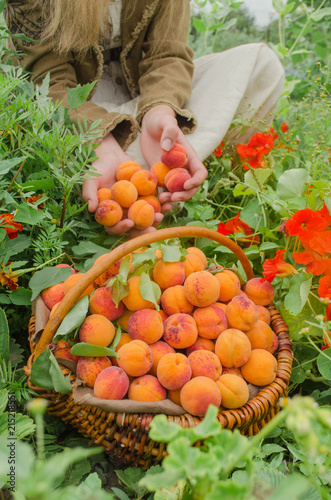 Farmer showing basket full of  apricots
