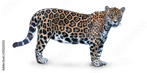 Isolated on white background, side view on Jaguar, Panthera onca, the biggest cat in South America, gazing directly at camera.