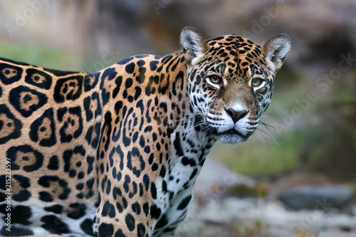 Close up portrait of Jaguar, Panthera onca, the biggest cat in South America, gazing directly at camera.