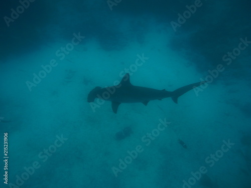 Fotografie, Tablou A scalloped hammerhead (Sphyrna lewini) approaches at Galapagos Islands