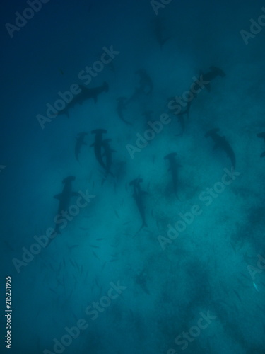 School of scalloped hammerhead sharks swimming over a sandy ocean floor, Galapag Fototapet
