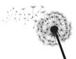 Black silhouette Dandelions. Vector Illustration.
