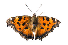 Butterfly Yellow Legged Tortoi...