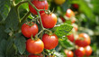 canvas print picture - Rote Tomaten am Strauch