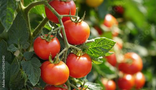 Fototapeta Rote Tomaten am Strauch