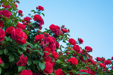 Red Roses With Buds On A Backg...