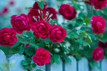 Red Roses With Buds On A Background Of A Green Bush. Bush Of Red Roses Is Blooming On The Blue Fence.