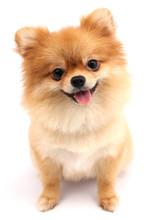 Pomeranian Dog With White Back...