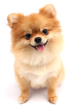 Pomeranian Dog With White Backdrop.